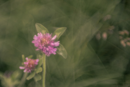 trifolium: Clover with Blurred Focus Background Stock Photo