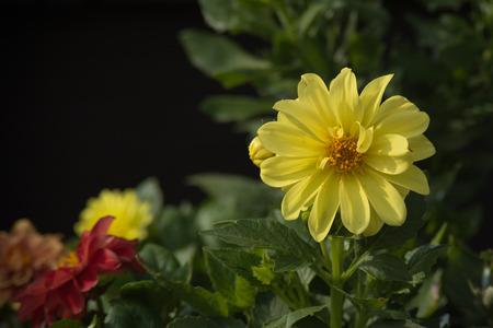Brilliant Yellow Dahlia Flower Stock Photo