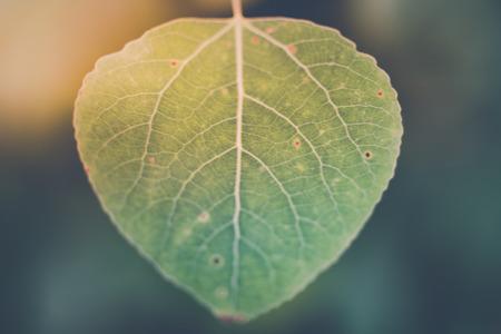 Closeup Trembling Aspen with Blurred Background 版權商用圖片