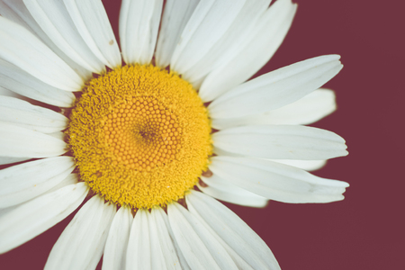 Isolated Daisy on Tuscan Red Background