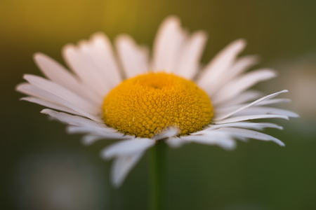 Vibrant Oxeye Daisy at Sunrise