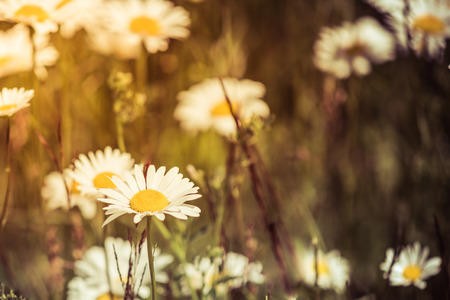 Oxeye Daisies in Field at Sunset Stock Photo