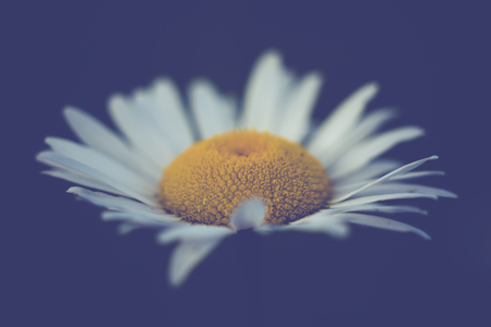 Isolated Daisy on Midnight Blue Background