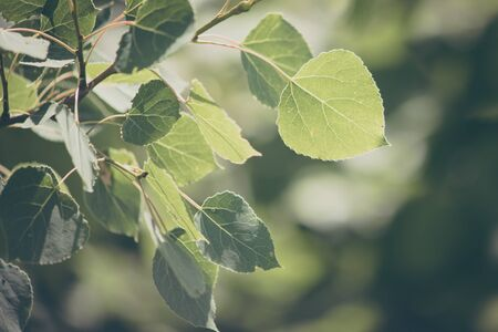 Close View of Trembling Aspen Leaves Stock Photo