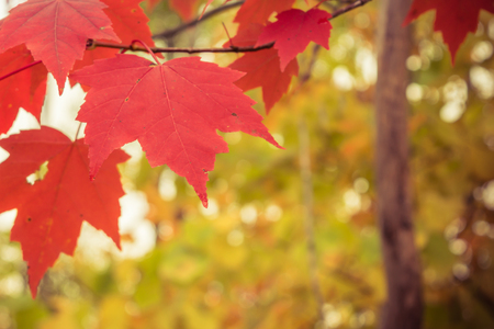 acer: Red Maple Leaves with Text Space