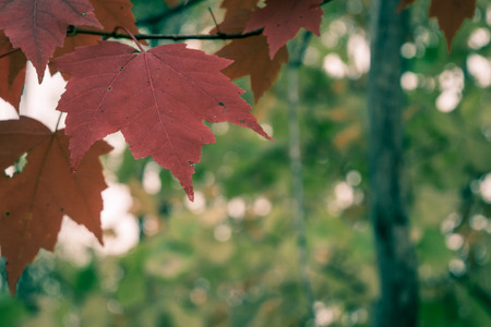 acer: Close View of Red Maple Leaves