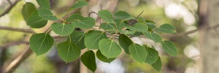 Trembling Aspen Leaves Banner