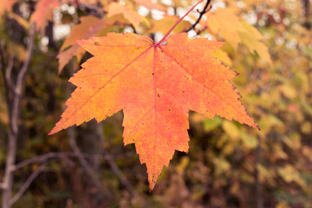 acer: Single Maple Leaf in Fall