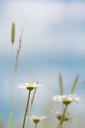 Daisies and Timothy Grass Against Sky Stock Photo