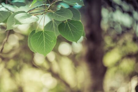 Trembling Aspen Leaves with Soft Background Stock Photo
