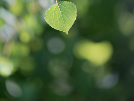Single Quaking Aspen Leaf