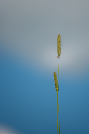Fly on Timothy Grass