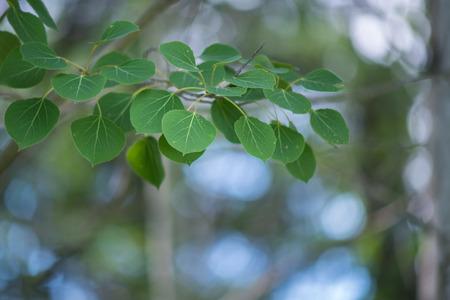 Vibrant Aspen Leaves