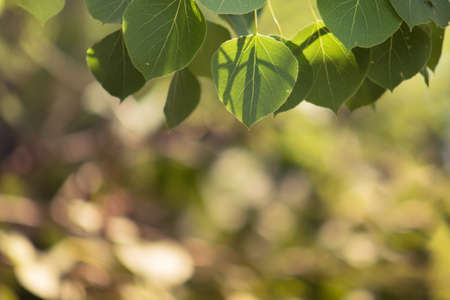 Quaking Aspen Leaves with Soft Background