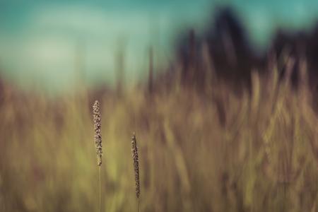 Timothy Grass Seedheads and Blurred Grassland