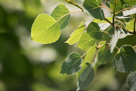 Closeup View of Quaking Aspen Leaves
