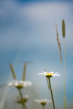 Daisies and Timothy in Grassland