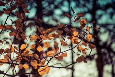 Vintage Look Fall Aspen Leaves Stock Photo