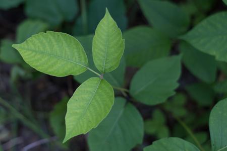 Poison Ivy Plants