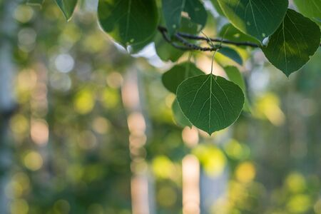 Aspen Leaves on Sunny Day Stock Photo