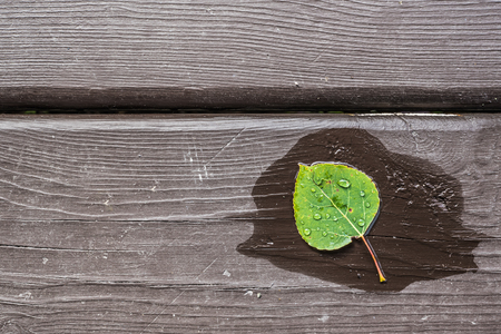 Wet Aspen Leaf on Distressed Wood Stock Photo
