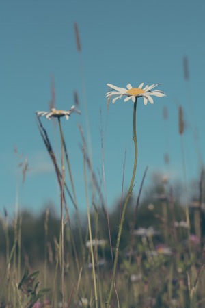 Daisies and Grasses in Field