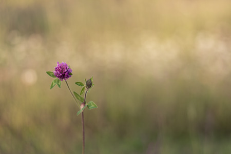 Single Clover Flower