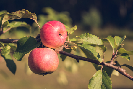 Organically Grown Apples Stock Photo