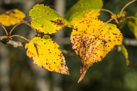 Golden Aspen Leaves 版權商用圖片