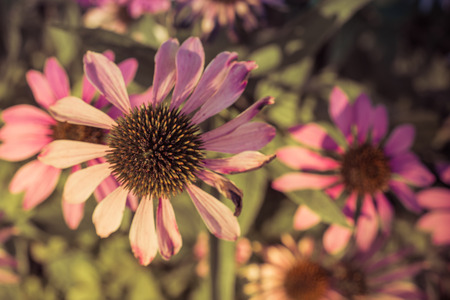Late Summer Echinacea Flower
