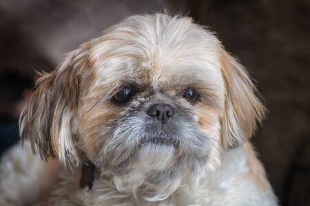 Closeup of Shihtzu Dog