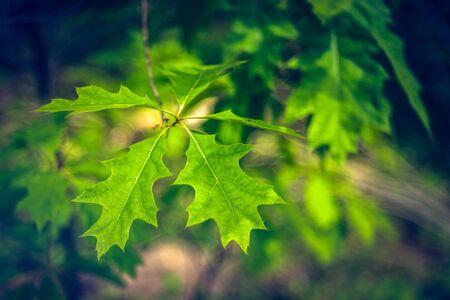 Northern Red Oak Leaves Stock fotó