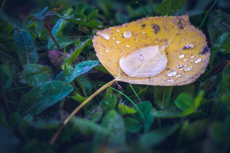 Closeup of Aspen Leaf After Rain