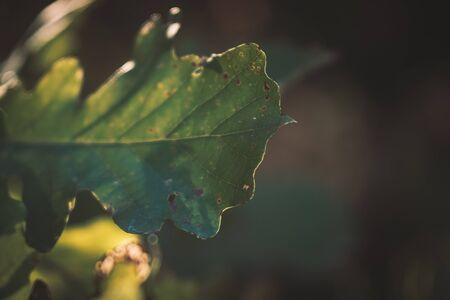 Bur Oak Leaf in Late Summer