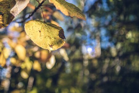 Trembling Aspen Leaves in Fall
