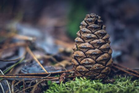 Closeup of Pine Cone Standard-Bild