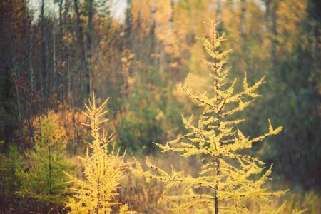 Fall Color Tamarack Trees 写真素材