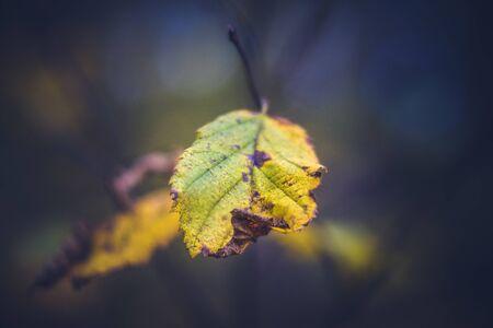Alder Leaf in Fall Standard-Bild
