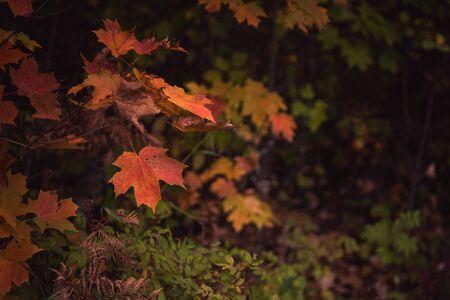 Fall Color Sugar Maple 写真素材
