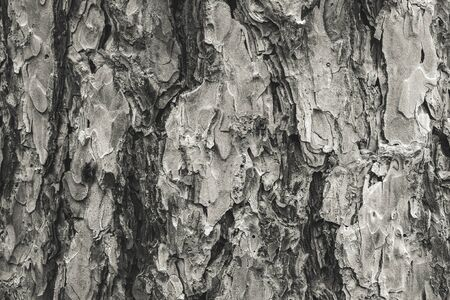 Monochrome Pine Bark Background 写真素材