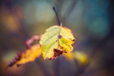 Fall Color Alder Leaf