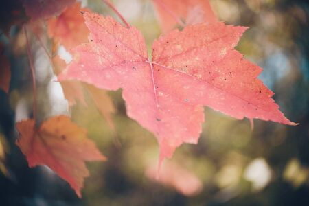 Close View of Red Maple Leaves in Fall