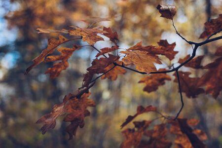 Oak Leaves in Fall