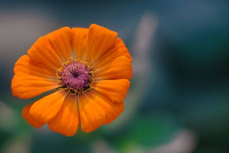 Close View of Mexican Sunflower Stock Photo
