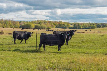 Cattle in Early Fall