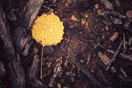 Fall Color Aspen Leaf After Rain