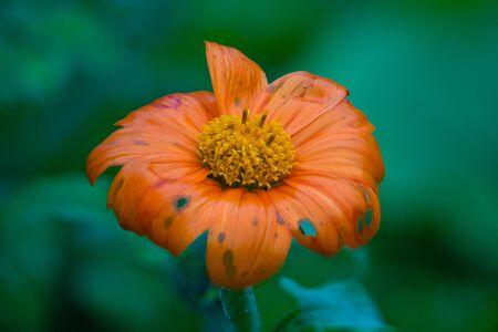 Mexican Sunflower Summer Bloom