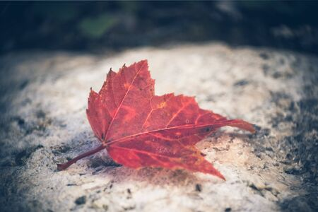 Fallen Maple Leaf on Rock