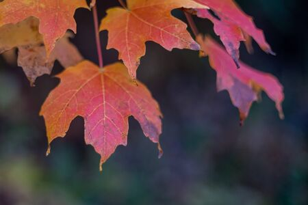 Sugar Maple Leaves in Fall Color