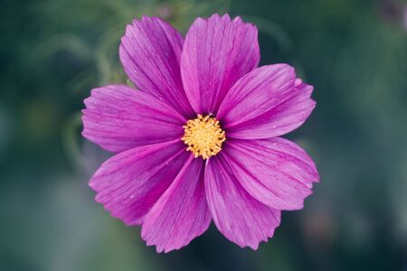 Close View of Cosmos Flower Stock Photo